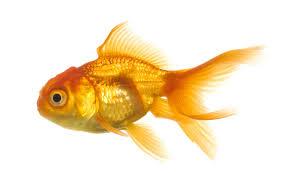 Goldfish01
