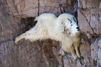 Mountaingoat4