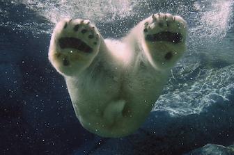 Polar bear1