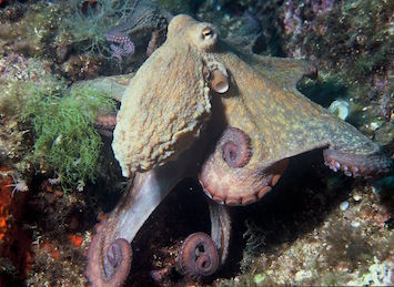 Octopus25
