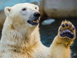 Polar bear oath1