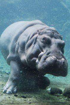 Underwater_hippo1