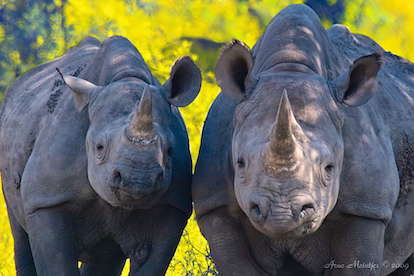 Blackrhinos