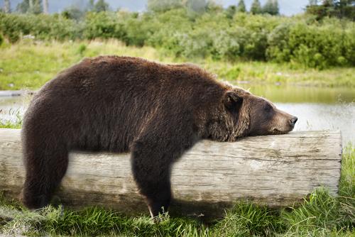 Bear25