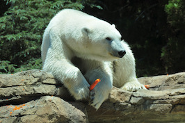 Polar bear carrot