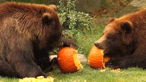 Bears eating pumpkins