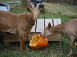 Goats eating pumpkin
